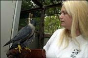 Diane Johnson, founder of Operation WildLife holds a Peregrine falcon used in the organization's education program. The program uses animals that cannot be released into the wild to educate the public about wildlife.