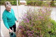 Elaine Fellenstein waters one of several beds of flowers at the United Way Building, 2518 Ridge Court. Fellenstein has volunteered five years at the garden.