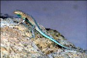 A male side-blotched lizard is shown in this photo provided by the Arizona Game and Fish Department. Female side-blotched lizard controls all aspects of mating and reproduction. She also picks the best sites to live.