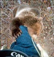 A baby brown bear climbs up the leg of photographer Rick Sammon at Wild Eyes Animal & Photo Adventures, a game farm near Kalispell, Mont. The game farm allows photographers to get up close and personal with wild animals under the supervision of experienced guides.