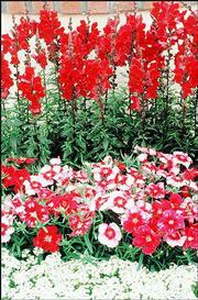 Dianthus corona cherry MAGIC is suited for patio containers or window boxes and are a perfect companion plant for dwarf conifers or tropical foliage plants.