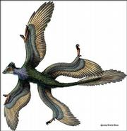 This drawing released by Nature Magazine depicts the four-winged dinosaur discovered in China. The fossils with leg feathers were dated from 128 million years ago.
