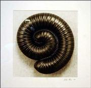 Millipede: circle the wagons, a photograph by John Hess.