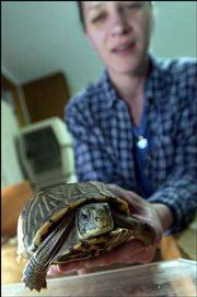 Operation Wildlife facility manager Laurie Doud displays one of the center's nine turtles currently in rehabilitation. Several animals, including two ornate box turtles similar to this one, have been transferred to Operation WildLife from WildCare, an animal rehabilitation facility east of Lawrence. WildCare will be forced to close after the state refused to renew its permits.