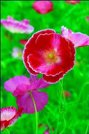 THE 'SHIRLEY' POPPY is an annual. The poppy typically blooms in late spring through summer.