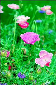 THESE ICELAND POPPIES are perennials and will grow 1 to 2 feet tall. The beauty of poppy flowers can be fleeting. The plants flower primarily in the spring or fall when cool temperatures prevail.