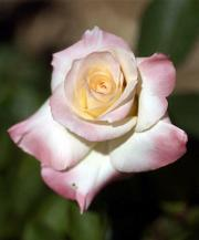 MCGRATH'S GARDEN features Diana, Princess of Wales, a pink white hybrid tea rose.