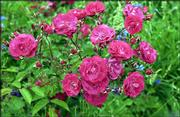 PINK MINIATURE ROSES have been a fixture in Lena Davis' garden. The roses have grown in her garden since the late 1950s, when Davis, 98, sent in a 25-cent coupon from a Post Toasties cereal box.