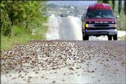 Mormon crickets make their way across Spring Valley Parkway in Spring Creek, Nev. Swarms of Mormon crickets are marching across the West, destroying rangeland and crops, leaving highways slick with their carcasses and disgusting residents.