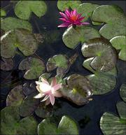 Lily pads float in Sherry and Jack Virtue's water garden. The pond is part of a much larger garden at the Virtue's home, 1844 E. 950, which is on the Sunflower Water Garden Society Tour.