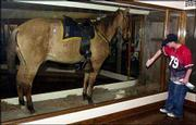 Volunteer Kevin Williams cleans the display case of Comanche in the Natural History Museum at Kansas University in this 2001 photo. Comanche was one of the few survivors on Gen. George A. Custer's side of the Battle of Little Bighorn. Today, 127 years after the battle, a monument to tribal warriors is being dedicated.