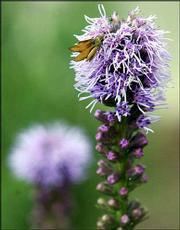 A butterfly visits a Liatris Kobold in Donna Masoner's garden.