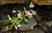 A wild violet grows in the stone steps in Friesen's garden.