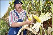Eudora farmer Keith Knabe inspects some ears of corn in one of his fields. Knabe says that the combination of hot, dry weather in the past weeks has hurt an otherwise good year for corn. Knabe was working Thursday in his field; the high temperature was 93, typical of July's hot, dry days that threaten crops.