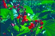 Pole bean Scarlet Runner