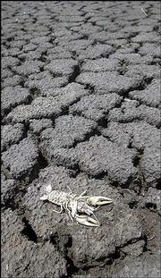 A dead crayfish lies on the dried-up bed of one of the pools at the Cheyenne Bottoms wildlife area near Great Bend.