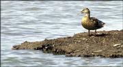A duck stands near water at Cheyenne Bottoms wildlife area near Great Bend. Due to a prolonged drought only one of the refuge's nine pools contains water, so officials fear the wildlife area may become crowded when nearly 100,000 ducks stop at the area during their annual fall migration.