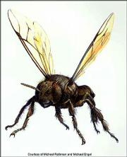 This is an Illustration of a 75 million-year-old bee. It's based on a real specimen found encased in amber in Burlington County, N.J. Michael Engel, assistant curator of entomology at Kansas University's Natural History Museum, has seen the specimen and described it for publication.