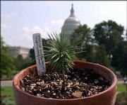 A seedling grown from what is believed to the world's oldest living tree is displayed in front of the U.S. Capitol in Washington prior to its presentation to the Botanic Garden. The 10-month-old seedling was one of two delivered to the Botanic Garden by northern Michigan tree farmer David Milarch and his son, Jared.