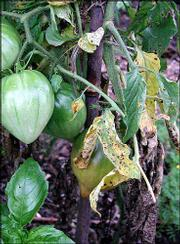 Tomatoes are as close as any vegetable gets to growing like a weed, yet problems occasionally arise. A widespread problem of tomatoes this time of year is yellowing and loss of leaves.