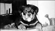 This rottweiler named Harley has grown more than three times this size since this photograph was taken. Lawrence residents Kim and Gary Kirk adopted the dog from their son, Chad, who lives in New York.