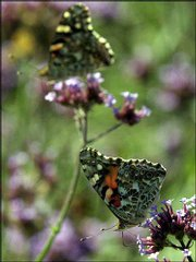 "Two painted-lady butterflies gather nectar from some perennial verbena on Kansas University&squot;s west campus near Foley Hall. Orley ""Chip"" Taylor, director of the Monarch Watch program and a professor of biological sciences at KU, considers this year&squot;s painted-lady migration the best he&squot;s seen since the late 1970s."