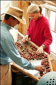 Charlie NovoGradac and his wife, Debbie Milks, sort chestnuts on their land just north of Lawrence. The couple, owners of Chestnut Charlie's, sell the chestnuts to Lawrence retailers.