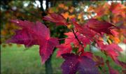 Maple leaves turn shades of red, purple and gold at Maple Grove Cemetery in Wichita. Biologists are studying the color changes to detect whether dark reds indicate a leaf's stress or disease.