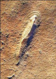 This fossil of a 26-inch fishlike creature is believed to be at least 560 million years old. It was found in Australia.
