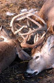 These two tangled dead bucks were found by a Douglas County landowner Wednesday about three miles west of Kasold Drive and Peterson Road. Such sights are not uncommon during the rut, or mating season, when bucks compete for dominance. The deer most often die of dehydration.