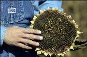 Ted Grinter displays a sunflower in his field in rural Leavenworth County.