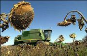 Jim Grinter harvests his sunflower crop in rural Leavenworth County. More farmers are considering crops like sunflowers that better resist drought than corn and soybeans.