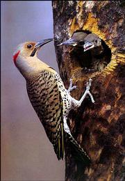 "Bob Gress, a naturalist and wildlife photographer, is in town promoting his new book, ""Faces of the Great Plains: Prairie Wildlife,"" which showcases 150 of his wildlife photos. Pictured is a Northern Flicker."