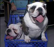 "Bulldogs Sybil, left, and Trudy are next in line to have a photo taken with a person dressed as Santa ""Paws."" They got their picture taken Dec. 7 at a Petsmart in Scottsdale, Ariz. Pet supply companies, which have enjoyed strong growth even in the soft economy, say the demand for holiday-themed products keeps growing."