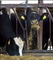Cows feed at the dairy farm Sunny Dene Ranch in Mabton, Wash. The farm has been quarantined by the state because a cow that came from the farm was infected with mad cow disease.