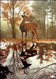 A whitetail deer strikes a majestic pose at a pond at North Carolina's Grandfather Mountain in this image by photographer Hugh Morton.