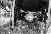 Special to the Journal-World Skippy, at 8 weeks old, lounges in his owner's under-wheelchair carrier, where he climbed on his own. The photo was taken last summer during a camping trip by Norm White and submitted by his wife, Dot Nary. Skippy is now 55 pounds and can't fit under the chair.