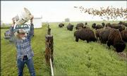 "Gary Chaput, ranch manager at the L.C.L. Buffalo Ranch in Clifton, spreads out ""range cube"" food to 250 head of American bison. The ranch is owned by Lester Lawrence, of Clifton. A proposal to turn large swaths of rural Kansas back to buffalo will be discussed Wednesday in Manhattan."