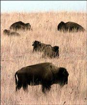 Buffalo graze on the tall grass of the Maxwell Wildlife Refuge near Canton. A proposal first made in the 1980s to turn large portions of the Kansas prairie back to the buffalo is being examined again as the state's population in rural areas declines.
