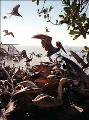 Pelicans and other birds flock in for feeding time at the Florida Keys Wild Bird Center in Tavernier, just south of Key Largo, Fla. Every day a few buckets of fish are thrown to supplement the wild pelicans' diet.