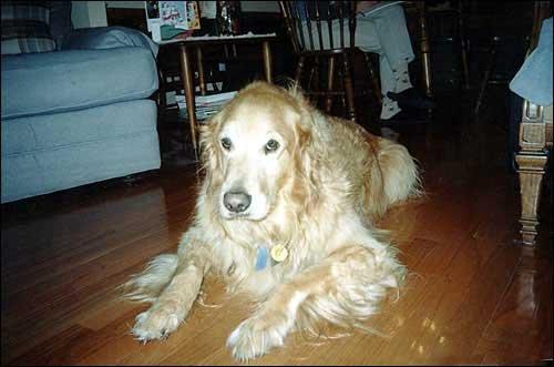 Long Hair Golden Retriever Goldenacresdogs Com