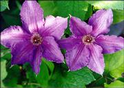 Versatility and longevity are some of the traits of clematis, a favorite of gardeners. Its vines offer coverage and continuity to a garden scene, while its flowers provide color accents.