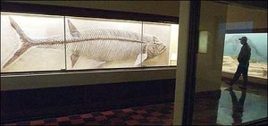 A fossilized skeleton of xiphactinus audax, which swam in the sea that covered western Kansas some 150 million years ago, is on display at Kansas University's Dyche Hall. Kansas fossil hunter Alan Detrich wants to donate a smaller, though more complete, X-fish to the state of Kansas for display in the Statehouse in Topeka. But the donation would come at a price: a $10 million tax break for Detrich and a declaration by the Legislature to name an official state fossil.