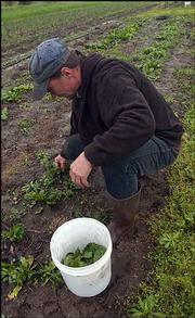 Stu Shafer, a member of the Rolling Prairie Farmers Alliance, picks some spinach from his patch. The alliance runs a subscription service that provides area residents with fresh fruits and vegetables each week.