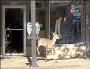 A whitetail deer exits Randall's Formal Wear, 815 Mass., after Lawrence Police chased it away. The deer broke through the glass door and caused minor damage Wednesday morning. It was last seen running east on Seventh Street.