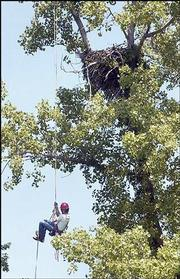 Joel Brinker, Manhattan, a professional tree climber and volunteer for the U.S. Fish and Wildlife Service, climbs a rope to an eagles' nest 70 feet off the ground to capture two 4-week-old eagles for banding. Brinker retrieved the young eagles Saturday from their nest.