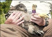 A 4-week-old bald eagle rests in the arms of John Miesner of the U.S. Fish and Wildlife Service. Miesner helped hold the eagle while a wildlife biologist tagged, weighed and measured the young bird's brother near their nest at Perry Lake. The eagle and its sibling became the 92nd and 93rd eagles to be banded in Kansas since the state started banding in 1989.