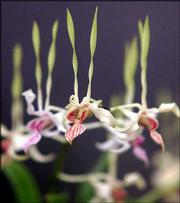 Dendrobium reaches skyward at Eddon Orchids in Fresno, Calif.