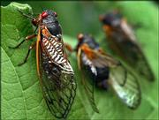 Red-eyed cicadas rest on a leaf in Annandale, Va. As these insects die off, another generation is just beginning its 17-year life cycle; they will emerge as adults in 2021.