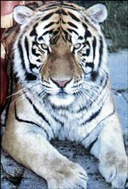Bobo the tiger, owned by former B-movie actor Steve Sipek, is dead after being shot by a Florida wildlife officer. Bobo escaped from his compound Monday in Loxahatchee, Fla. The officer shot and killed Bobo on Tuesday after the tiger leaped at him.